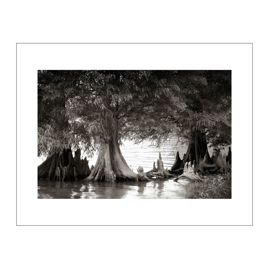 LA 1 Cypress Trees